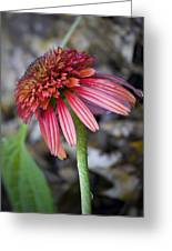 Echinacea Hot Papaya Greeting Card