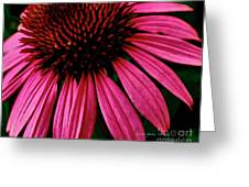 Echinacea IIi Greeting Card