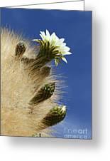 Echinopsis Atacamensis Cactus In Flower Greeting Card
