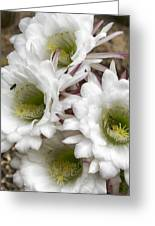 Echinopsis Blossoms  Greeting Card