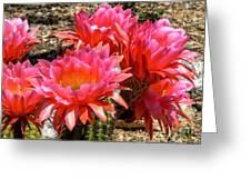 Echinopsis Flowers In Bloom II Greeting Card