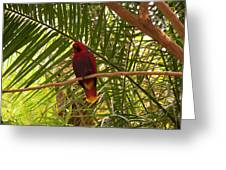Eclectus Parrot 2 Greeting Card