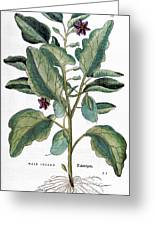 Eggplant, 1735 Greeting Card