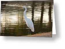 Egret At Waters Edge Greeting Card
