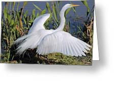 Egret Display Greeting Card