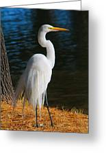 American Egret Greeting Card
