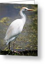 Egret Or Crane Greeting Card