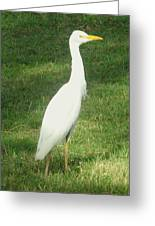 Egret Posing Greeting Card