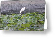 Egret Standing In Lake Greeting Card