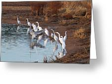 Egrets Gathering For Fishing Contest. Greeting Card