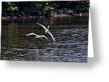 Egrets V Greeting Card