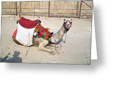 Egypt - Camel Greeting Card