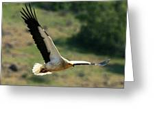 Egyptain Vulture In Flight  Greeting Card