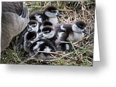 Egyptian Goose Alopochen Aegyptiacus Greeting Card