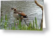 Egyptian Goose Climbing Fence Greeting Card