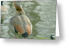 Egyptian Goose Greeting Card