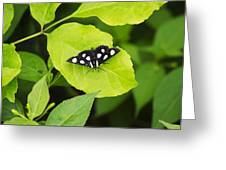 Eight Spotted Forester Greeting Card