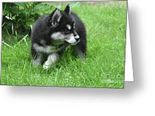 Eight Week Old Alusky Puppy On A Summer Day Greeting Card