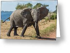 Elephant Crossing Dirt Track Facing Towards Camera Greeting Card