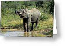 Elephant Drinking Greeting Card