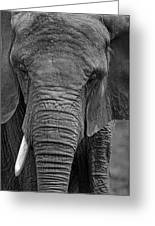 Elephant In Black And White Greeting Card