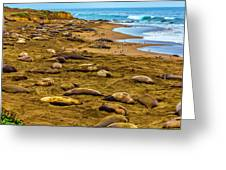 Elephant Seals Near Cambria  Greeting Card