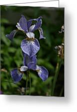 Elevated Iris Greeting Card