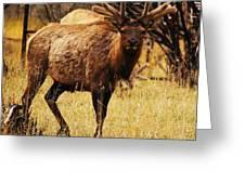 Elk #1 Greeting Card