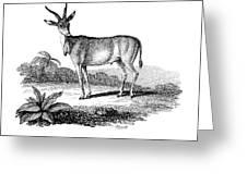 Elk Antelope Greeting Card