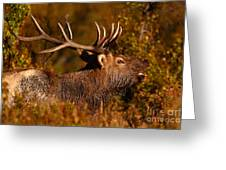 Elk Bull Bugling In Autumn Woodlands Greeting Card
