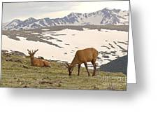 Elk Bulls In The Highlands Of Colorado Greeting Card