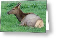 Elk Cow Greeting Card