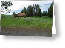 Elk Feeding Greeting Card