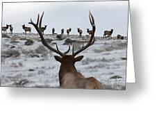 Elk Herd Greeting Card