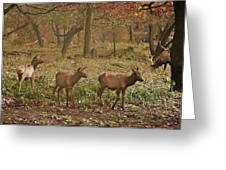 Elk In The Early Morning Greeting Card