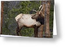 Elk Looking Back Greeting Card