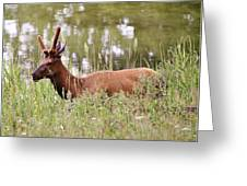 Elk Of Jasper... Greeting Card