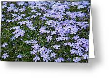 Emerald Blue Creeping Phlox Greeting Card