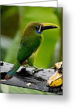Emerald Toucanet In The Rain Greeting Card