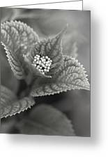Emerging Hydrangea Greeting Card