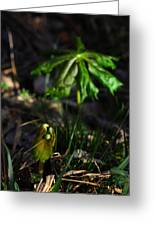Emerging Mayapples Buffalo National River Greeting Card