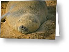 Endangered Monk Seal Takes A Siesta At Poipu Beach. Greeting Card