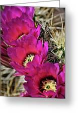 Engleman's Hedgehog Cactus  Greeting Card