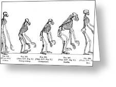 Ernst Haeckel, Evolution Of Man, 1879 Greeting Card