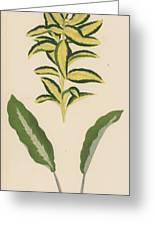 Euonymus Japonica Aurea Variegata, Maranta Micans Greeting Card