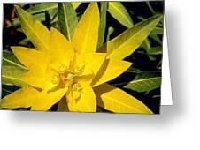 Euphorbia Wallichii Greeting Card