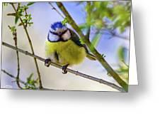 Eurasian Blue Tit, Cyanistes Caeruleus Greeting Card