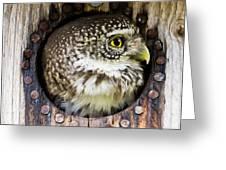 Eurasian Pygmy Owl In Profile Greeting Card