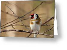European Goldfinch 3 Greeting Card