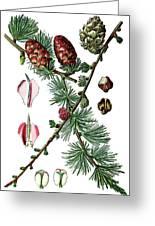 European Larch, Pinus Larix Greeting Card